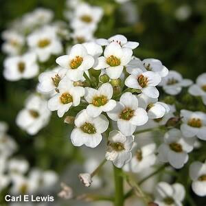 Flor-de-mel - ALYSSUM BRANCO BENTHAMI COMPACTUM - 50 gramas