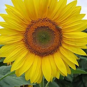 Girassol ZEBULON de Jardim Amarelo Alto Helianthus annuus