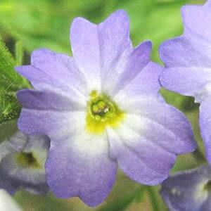 Brovália Azul (Ref 724)