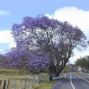 Jacarandá Mimoso