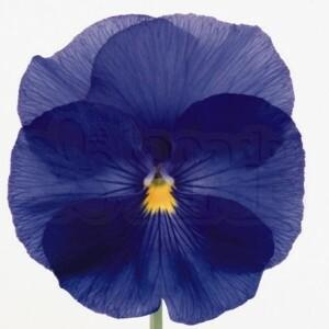 Amor-perfeito F1 Fancy - True Blue