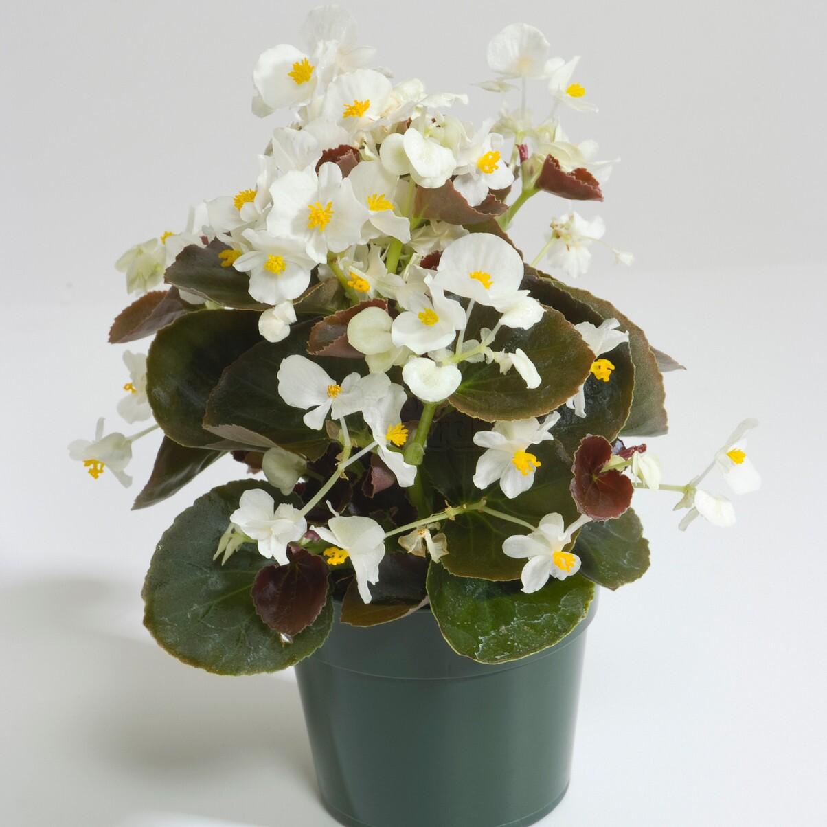 Begônia Senator White (folhas Bronzeadas) - 1000 sementes