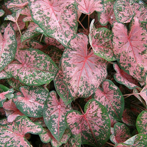 "Caladium ""Pink Beauty"""