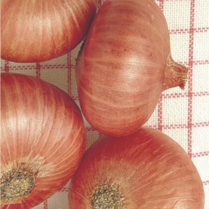 Cebola Red Creole - Roxa (Ref 073)