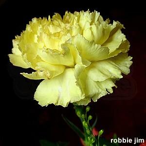 "Cravo ""Chabaud"" Gigante Dobrado Amarelo Dianthus caryophyllus"