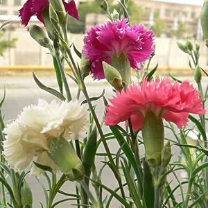 "Cravo ""Chabaud"" Gigante Dobrada Dianthus caryophyllus"