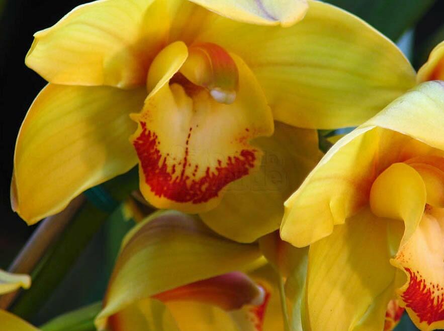 Orquídea - Cymbidium Amarela