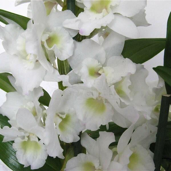 Orquídea Dendrobium Nobile Branca