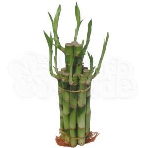 Lucky Bamboo - Pirâmide (duas camadas)