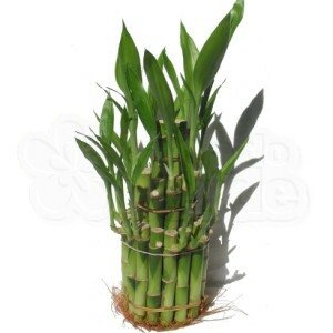 Lucky Bamboo - Pirâmide (três andares)