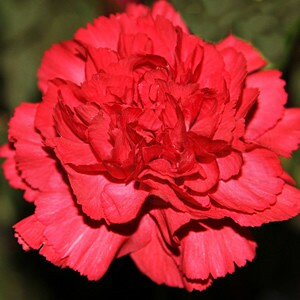 "Cravo VERMELHO ""Chabaud"" Gigante Dobrada Dianthus caryophyllus"