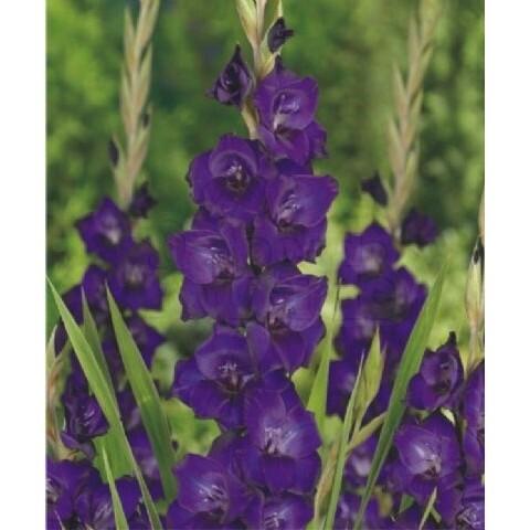 """Gladíolos """"Purple Flora"""" (10 unidades)"""