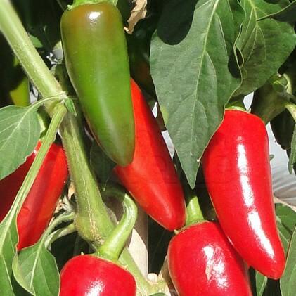 Pimenta Iberaba Jalapenho