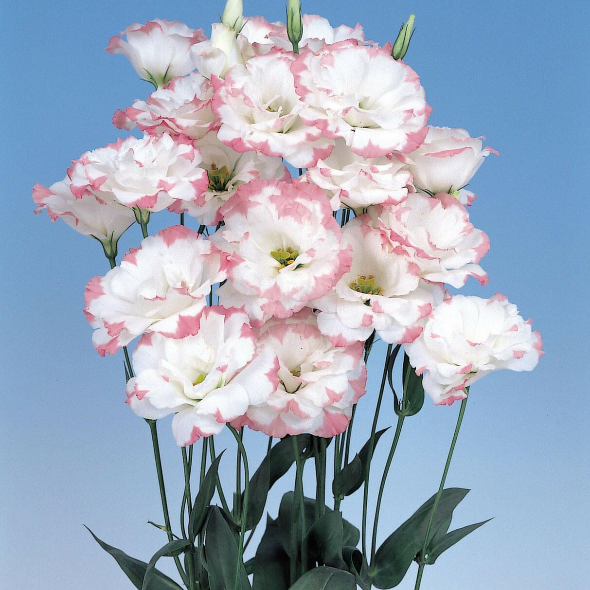 Lisianthus F1 Dobrado Echo - Pink Picotee - 1000 sementes peletizadas