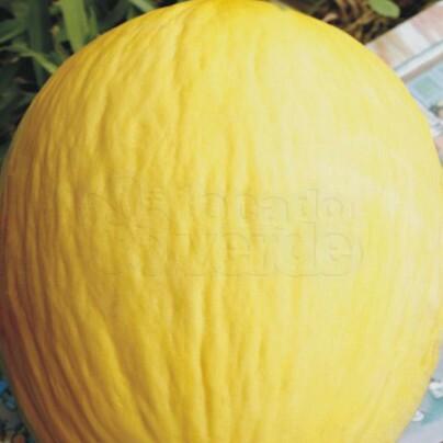 Melão Híbrido Louro - 50 sementes