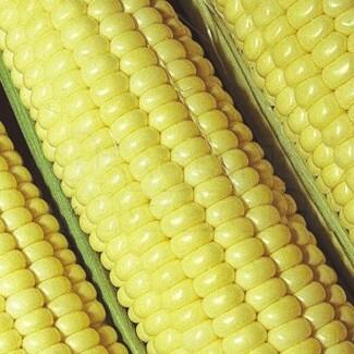 Milho-Verde Híbrido Itapuã 700 - (Ref 509) - 100g