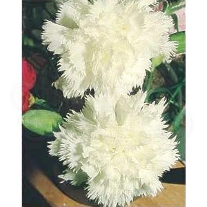 "Cravo ""Chabaud"" Gigante Dobrada branco Dianthus caryophyllus"