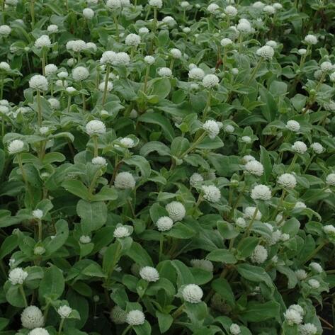 Perpétua Branca - Gomphrena Gnome White - 1000 sementes