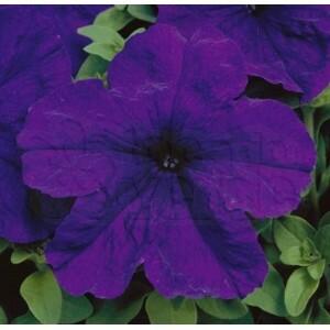 Petúnia F1 Grandiflora Eagle - Blue - 1000 sementes -  Peletizada