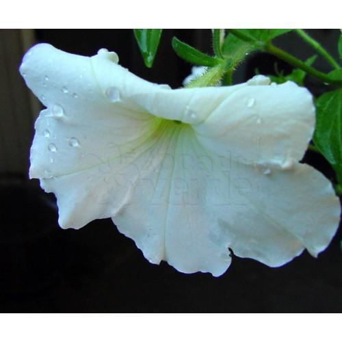 Petúnia F1 Grandiflora Eagle White - 1000 sementes