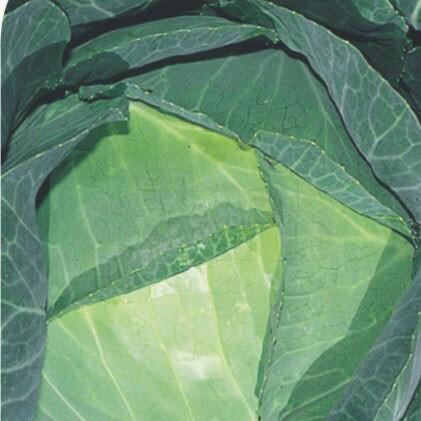 Repolho Louco de Verão 1,6g (Ref 240)