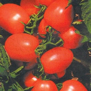 Tomate IPA 6 (Ref 260)