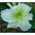 Hemerocallis Carribean Snowcap - 1 Rizoma