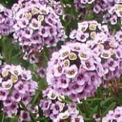 Flor-de-mel Violeta (Alyssum) (Ref 308)