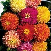 Zínia Cactus Sortida (Ref 463)