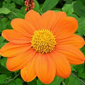Girassol Mexicano - 50 g - Tithonia rotundifolia