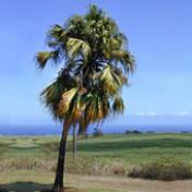 Palmeira-leque-da-china