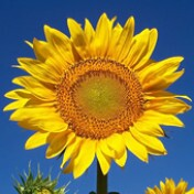 Girassol de Jardim Amarelo Anão 0,8g (Ref 391)