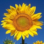 Girassol de Jardim Amarelo Anão - 50 g (Ref 391)