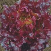 Alface Mimosa Rubi (048)