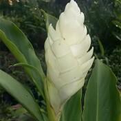 Alpínia Branca