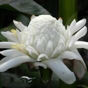 Bastão-do-imperador Branco (1 Rizoma)