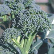 Couve-Brócoli Piracicaba Precoce (Ref 108)