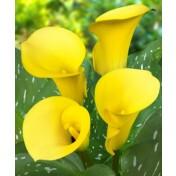 Copo-de-leite Amarelo - Pot Of Gold