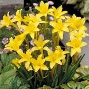 Chlidanthus Frangans - Perfumado - 1 bulbo
