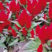 Celosia Plumosa Super Anã Kimono Red - 1000 sementes