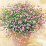 Mosquitinho Dobrado Rosa - Gypsophila Gypsy Deep Rose - 1000 sementes