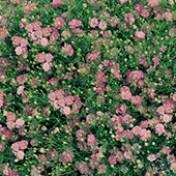Mosquitinho Dobrado - Gypsophila Gypsy Pink - 1000 sementes