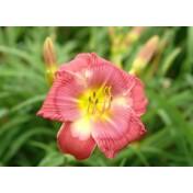 Hemerocallis - Luciana