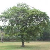 Mutambo (Ref 768)