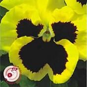 Amor-perfeito Gigante Suíço Amarelo