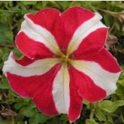 Petúnia F1 Grandiflora Falcon Red & White - 1000 sementes