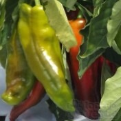Pimenta Doce Alongada Ibaté - 50 sementes
