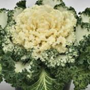 Repolho-ornamental Branco - Flowering Kale Nagoya White - 1000 sementes