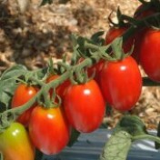 Tomate Dolcetto - Grape - 50 sementes