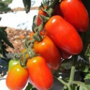 Tomate Sorbetto (Mini Marzano) - 50 sementes